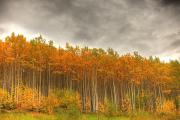 Poplar Forest Photo Metal Prints - Poplar Forest In Autumn, Teslin, Yukon Metal Print by Robert Postma