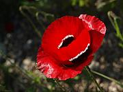 Israel Photos - Poppies 01 by Arik Baltinester