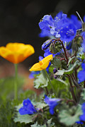 Golden Flowers Metal Prints - Poppies and Bluebells Metal Print by Saija  Lehtonen