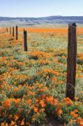 Bad Lands Prints - Poppies and Fence Posts Print by Ian Frazier