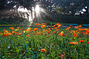 Roger Mullenhour - Poppies And Light Shafts