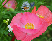 Wildflower Photos Posters - Poppies and Pollinator Poster by Lynn Bauer