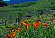Poppies Prints Metal Prints - Poppies and the Vineyard Metal Print by Kathy Yates