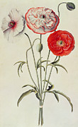 Blue Flowers Painting Posters - Poppies Corn Poster by Georg Dionysius Ehret