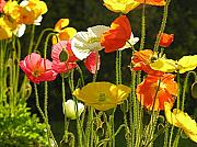 Yello Posters - Poppies Poster by Diane  Greco-Lesser