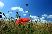 Field. Cloud Posters - Poppies Poster by Frans Schalekamp