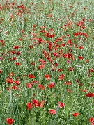 Oat Photos - Poppies Growing In A Field Of Oats by Carlos Dominguez