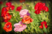 Poppy Photo Metal Prints - Poppies in a garden Metal Print by Elena Elisseeva
