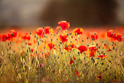 Y120817 Art - Poppies In Dorset by Olivia Bell Photography