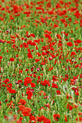 Poppy Fields Posters - Poppies in rye Poster by Elena Elisseeva