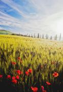 Tuscan Scene Framed Prints - Poppies In Wheat Field At Dawn Framed Print by Axiom Photographic