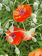 Julie Hodgkins - Poppies