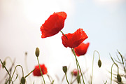Poppy Photo Metal Prints - Poppies Metal Print by Olivia Bell Photography
