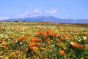 Flower Fields Framed Prints - Poppies over the Mountain Framed Print by Peter Tellone