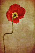 Hairy Stem Framed Prints - Poppy Framed Print by Ann Garrett