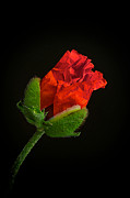 Floral Art Photos - Poppy Bud by Toni Chanelle Paisley