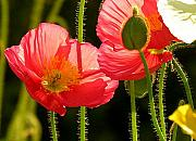 Yello Prints - Poppy Print by Diane  Greco-Lesser