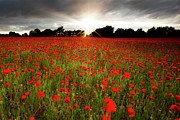 Red Flower Posters - Poppy Field At Sunset Poster by Doug Chinnery