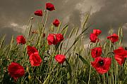 Storm Clouds Prints - Poppy field before the storm Print by Floriana Barbu