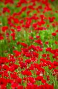 Field Of Flowers Prints - Poppy Field Print by Carson Ganci