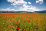 Wild Grass Posters - Poppy field Poster by Gabriela Insuratelu