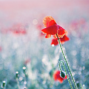 Dew Posters - Poppy Field In Flower With Morning Dew Drops Poster by Sophie Goldsworthy