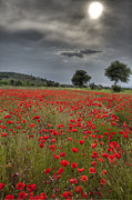 Blue Grapes Posters - Poppy field in Tuscany Poster by Al Hurley