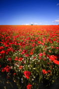 Corn Photos - Poppy Field by Meirion Matthias
