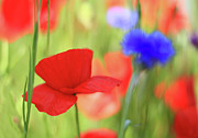 Cornflower Posters - Poppy Field With Cornflowers Poster by Carmen Brown Photography