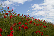 Ypres Prints - Poppy Fields Print by Paul Holman