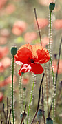 Coquelicot Framed Prints - Poppy Flower Framed Print by Falko Follert