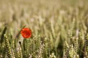 Close Focus Nature Scene Photo Posters - Poppy Flower In Field Of Wheat Poster by John Short