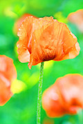 Anita Antonia Nowack Acrylic Prints - Poppy flowers in May Acrylic Print by Anita Antonia Nowack