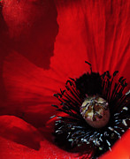 Blazing Posters - Poppy No. 2 Poster by The Forests Edge Photography - Diane Sandoval