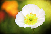 Garden Petal Image Photos - Poppy of Peace by Darren Fisher
