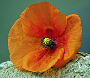 Ian Flear - Poppy on a rock