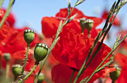 Agriculture Photo Prints - Poppy pods Print by Jane Rix
