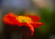 Solitude Photos - Poppy Resplendent by Mike Reid