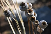 Countryside Art - Poppy Seed Pods  2 by Tanya  Searcy