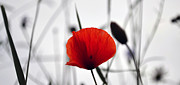 Thomas Christoph Posters - Poppy Poster by Thomas Christoph