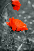 Colorkey Digital Art Metal Prints - Poppy Metal Print by Design Windmill
