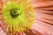 Jeannie Burleson - Poppy Whorls 1
