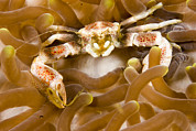 Malapascua Island Photos - Porcelain Crab In A Sea Anemone by Tim Laman