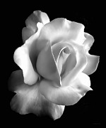 White Florals Prints - Porcelain Rose Flower Black and White Print by Jennie Marie Schell