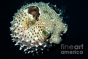 Puffer Photo Framed Prints - Porcupinefish Framed Print by Gregory G. Dimijian