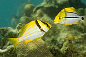 Bread And Butter Cay Posters - Porkfish In Adult Left And Juvenile Poster by Tim Laman