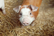 Pig Photo Posters - Porquet Poster by Roc Canals Photography