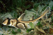 Jervis Prints - Port Jackson Shark Heterodontus Print by Mark Spencer