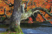 Red Maple Tree Photos - Port Stanely Maple by John  Bartosik