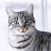 Portraits Photos - Portrait Gray Tabby Cat by Maika 777